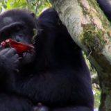 【閲覧注意】巨大な群れを持つチンパンジーの集団が敵チンパンジーを殺して食べるという衝撃的事実【カニバリズム】