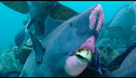 すごく出っ歯な魚「カンムリブダイ」が古くなったサンゴをかじって砕く!