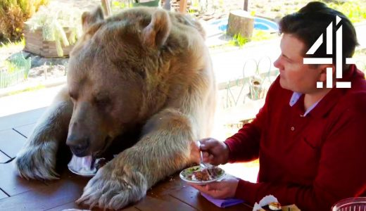 巨大なクマの犬のように飼う家族が現れる!!
