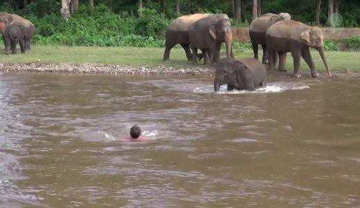 人間をも助けにいくゾウの博愛精神がすごい!!