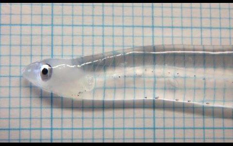 カライワシ上目の幼生「レプトフケファルス」の肉がスケスケで全身透明
