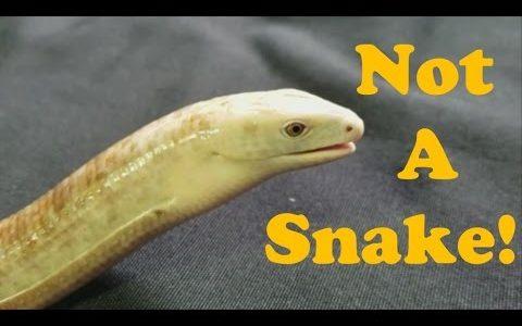 これはヘビ?いいえ、足のないトカゲ「アシナシトカゲ」です