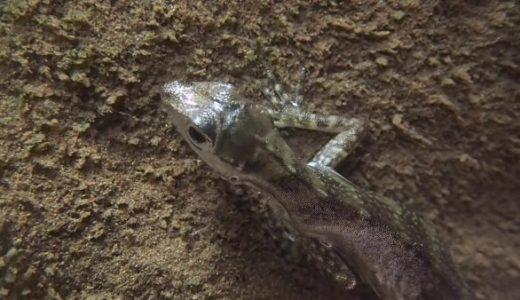 頭につけた気泡を酸素ボンベとして長時間潜水することが可能なトカゲ「ウォーターアノール」が見つかる