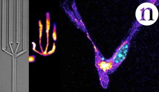 免疫細胞が人工迷路をどのように移動するのか実験してみた