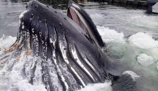 ザトウクジラが船着き場に超接近した場所で捕食活動を始める