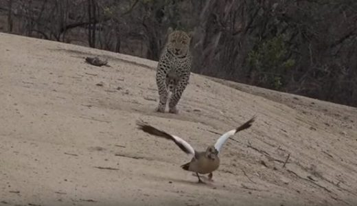 動物も嘘をつく。負傷しているフリ(擬傷)をして捕食者を家族から引き離すカモの映像
