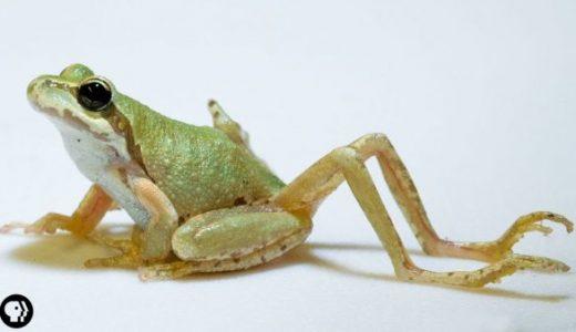 Q:足を複数持って生まれてくるカエルの奇形は何が原因?A:寄生虫