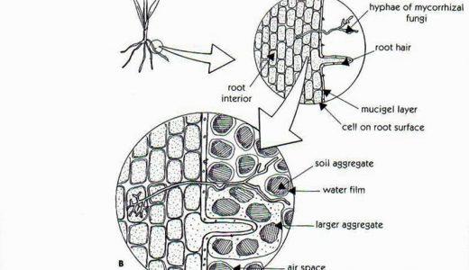 アーバスキュラー菌根菌との共生に関わる植物ホルモン「ストリゴラクトン」
