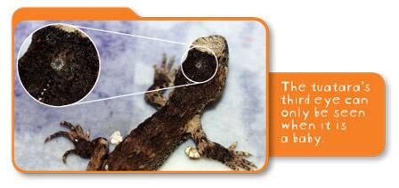 【Q&A】ムカシトカゲが持つ「第3の目」(頭頂眼)の役割は?