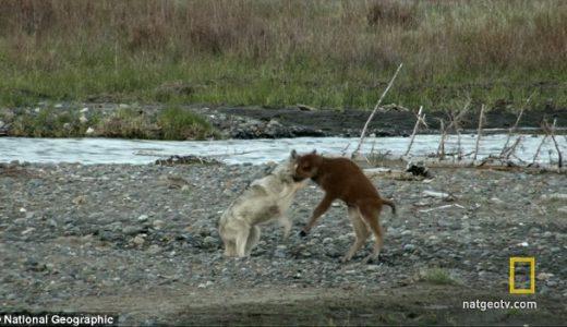 迷子の赤ちゃんバイソンがオオカミに襲われるもギリギリ耐え抜く