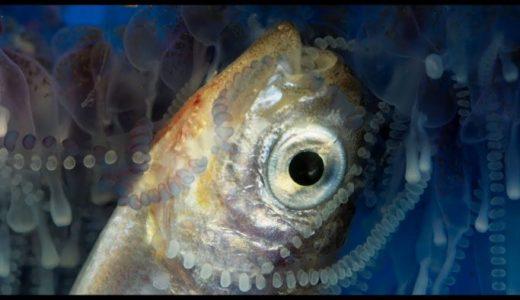 ヒドロ虫の群体であるカツオノエボシが魚を捕食する様子がミステリアス