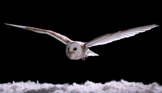 フクロウがどれだけ静かに飛ぶのかを実験によって確かめてみた