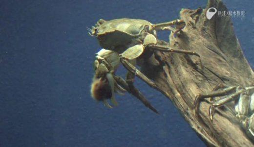 モズクガニが全ての足を使って懸命に泳ぐ姿がかわいすぎる!