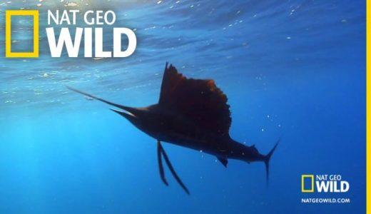 【Q&A】世界で一番早く泳げる「バショウカジキ」は時速何kmで泳ぐ?