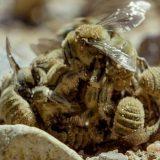 ミツバチが交尾のために群がっている所に鳥がやってきて片っ端から食べていく