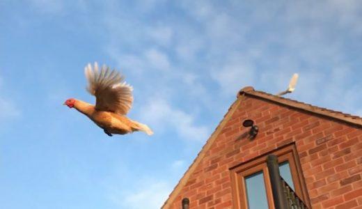 鶏がしっかり飛ぶ姿が撮影される。これは新鮮!