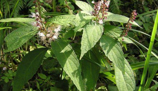 【Q&A】なぜ「シモバシラ」(植物)は冬に霜柱を作るの?