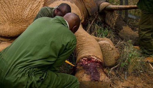 【閲覧注意】密猟者の罠にかかってしまった象を麻酔で眠らせて救出する