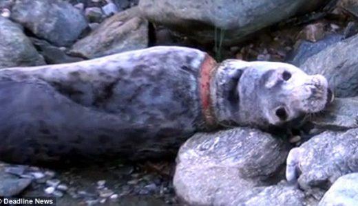 首に鋼のフィラメントが巻き付いて締め付けられて肉がえぐれているアザラシを救出した