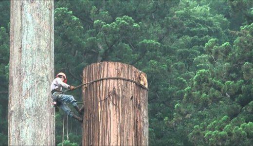 全長60mの巨大な杉を熟練の技術で伐採していく様子を撮影してみた