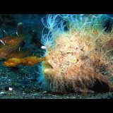 全身無数の毛が生えたカエルアンコウの捕食映像がすごい