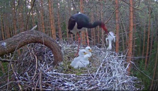 【閲覧注意】ナベコウ(コウノトリ科)の親鳥が死んだ我が子を巣から落とそうと試みる