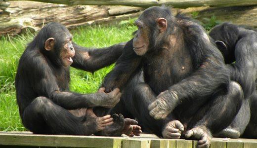 【Q&A】ゴリラと違ってなぜチンパンジーのオスはメスとの体格差が少ないの?