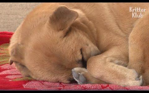 虐待を受けた犬が悪夢にうなされている様子を撮影した