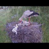 【ショッキング】コウノトリが育ちの悪い子どもを巣から落とす映像【子殺し】