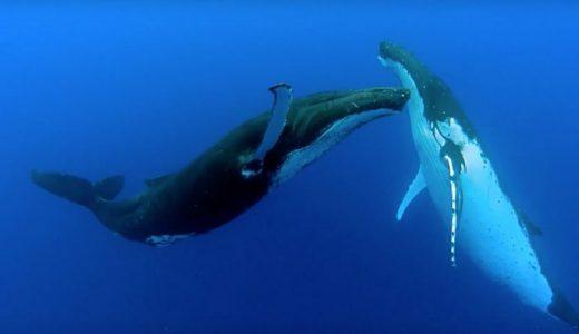 ザトウクジラのつがいが歌いながら海中を優雅に踊る姿が神秘的すぎる