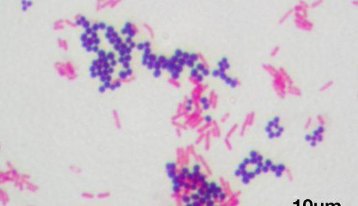 グラム陽性細菌とグラム陰性細菌は何が違う?グラム染色とは?