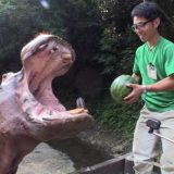 7000万回再生されたカバがスイカを食べるだけの動画がすごい