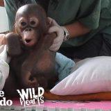 オラウータンの赤ちゃんの可愛さが反則レベル!!かわいすぎる!