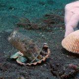 遠い昔を偲んで・・・貝殻に閉じこもるメジロダコの映像