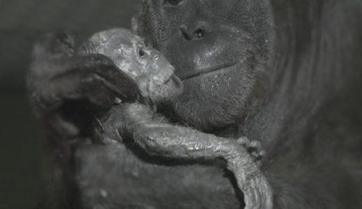 【驚愕のすまし顔】オラウータンが出産する様子を撮影してみた