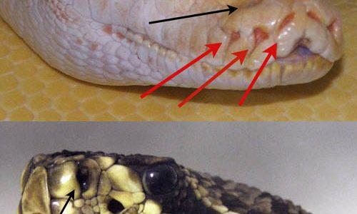 ヘビは赤外線をどうやって見ることができるのか?ピット器官の謎