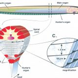 様々な効果器-発電器官・発光器官・色素胞・外分泌腺・内分秘腺・繊毛と鞭毛-