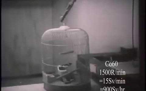 【閲覧注意】非常に強い放射線(100Sv)を小鳥が浴びるとどうなるのか【動物実験】