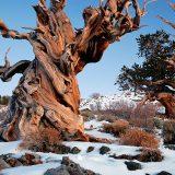 最も長い生きした樹木の樹齢はどれくらい?