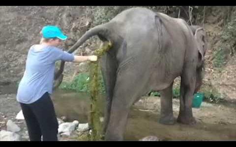 お姉さんがゾウの肛門から超長いウンコを手繰りだす映像
