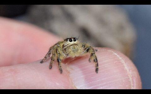 クモが見事なジャンプでハエを捕食する映像