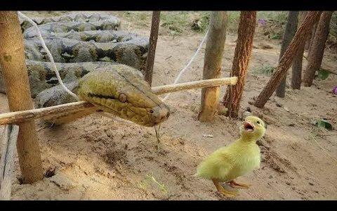 【蛇トラップ】ゴムと枝の比較的簡単な罠で巨大ヘビを捕獲する映像