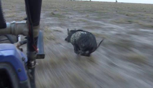 イノシシが全力疾走で逃げるも猟犬に捕まってしまう映像