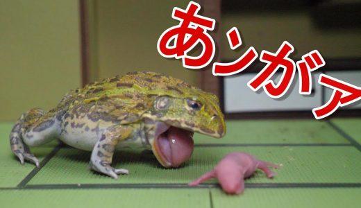【閲覧注意】アフリカウシガエルに生きたマウスの赤ちゃんを食べさせる映像