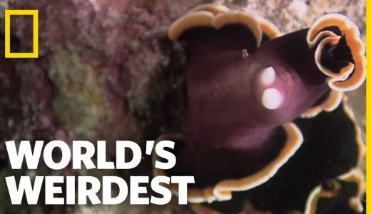 【動画あり】雌雄同体の扁形動物「ヒラムシ」は相手に精子を注入しようと戦いをする