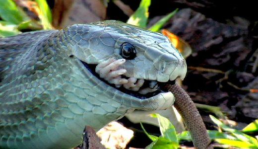 ヘビの前でも余裕顔のラットが案の定丸のみにされた映像