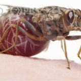 自分の体の半分ほどの大きさの幼虫を産むツェツェバエがすごい