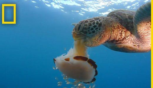 ウミガメが海中漂うクラゲをおいしそうにハムハムしている映像
