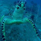 背中に貝が付着したウミガメが助けてほしそうにこちらを見ている…