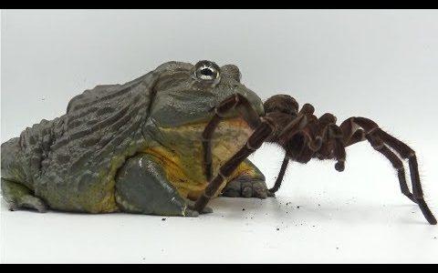【閲覧注意】優雅な音楽の中でアフリカウシガエルがルブロンオオツチグモをもぐもぐ食べる映像